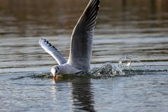 Seagull diving into lake water for food bread stock photos