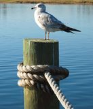 Seagull on a Dock. A seagull bird standing on a dock post on the water stock photography