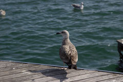 Seagull on the dock in Barcelona Stock Photography