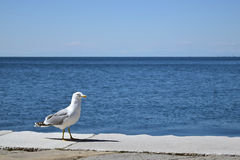 Seagull on a dock Royalty Free Stock Image