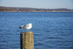 Seagull on dock post Stock Images