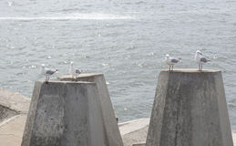 Seagull on Dolos -Defense concrete blocks at a pier, Cape Town, Stock Photos