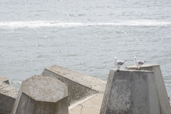 Seagull on Dolos -Defense concrete blocks at a pier, Cape Town, Stock Image