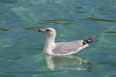 Seagull dopłynięcie Fotografia Stock