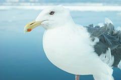 Seagull dopatrywanie Zdjęcia Royalty Free