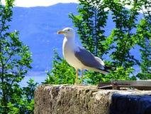 Seagull dopatrywanie od kamiennej żerdzi zdjęcie stock