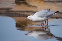 Seagull drinking from rock pool. Seagull drinking from a rock-pool, with reflection Stock Photos