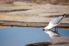 Seagull drinking from rock pool. Seagull drinking from a rock-pool, with reflection Stock Images