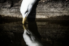 Seagull drinking water riverside with reflection. Aesthetic natu Stock Image