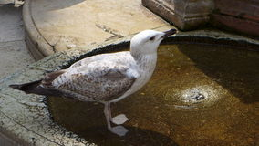 Seagull Drinking Water Royalty Free Stock Photography