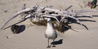Seagull & drivved på en ursprunglig sandig tropisk östrand Royaltyfria Bilder