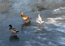 Seagull and ducks on the ice Royalty Free Stock Image