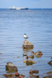 Seagull and ducks royalty free stock photography