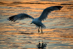Seagull at dusk Royalty Free Stock Photos