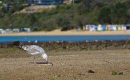 Seagull dzióbać jedzenie z piaska obraz royalty free
