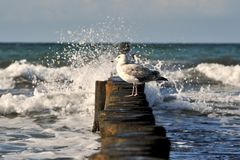 Seagull. A seagull at eastern sea germany Royalty Free Stock Image