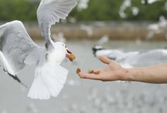 A seagull eat crackling from a man hand feeding Royalty Free Stock Images