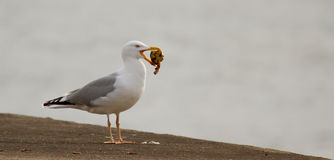 A seagull is eating. Crab Stock Photo