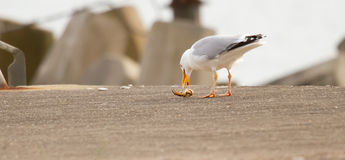 A seagull is eating. Crab Royalty Free Stock Image
