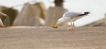A seagull is eating. Crab Royalty Free Stock Photo