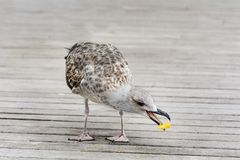 Seagull eating junk food on the street. Seagull eating with a beak  junk food Stock Images