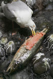 Seagull eating big fish Royalty Free Stock Photography