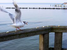 Seagull eating bread. At baltic sea on rugia Stock Photo