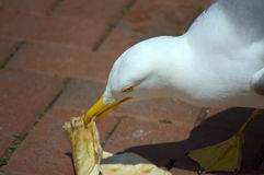 Seagull eating cake Royalty Free Stock Photos