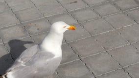 Seagull eating cake on street stock video