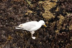 Seagull is eating on the cliff Stock Image