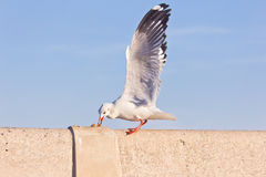 Seagull eating on concrete bridge Royalty Free Stock Images