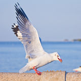 Seagull eating on concrete bridge Royalty Free Stock Photos