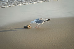 Seagull eating dead fish washed up on the dutch beach Stock Photography