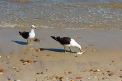 Seagull eating fish on beach near sea, other seagull looking Royalty Free Stock Images