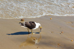 Seagull eating fish on beach near water Stock Photos