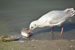 Seagull eating fish. Seagull eating dead fish in a pond Royalty Free Stock Image