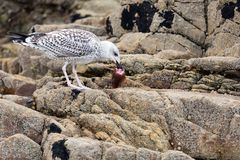 Seagull eating fish head Royalty Free Stock Photography