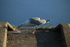 A Seagull eating a fish Royalty Free Stock Images