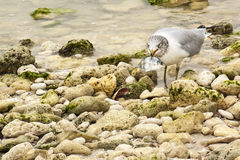 Seagull eating fish stock images