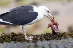 Seagull eating fish meat Royalty Free Stock Photos