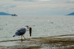Seagull eating a fish Stock Images