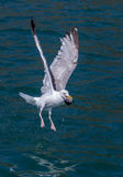 Seagull eating a fish's head. Seagull holding a fish's head in its beak in flight stock photos