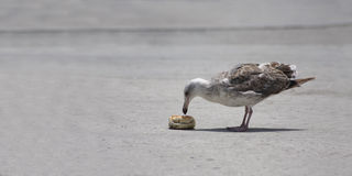 Seagull eating food Stock Image