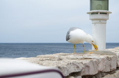 Seagull Eating Food Residues royalty free stock photo