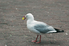 Seagull eating a grape. Royalty Free Stock Photos