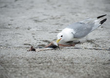 Seagull Eating. A gull eating a piece of mackerel discarded by a fisherman stock photography