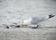 Seagull Eating. A gull eating a piece of mackerel discarded by a fisherman stock image