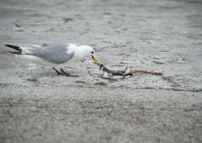 Seagull Eating Royalty Free Stock Photos
