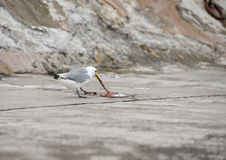 Seagull Eating Stock Photography