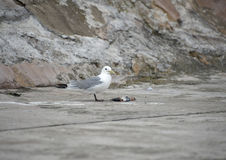Seagull Eating Royalty Free Stock Images